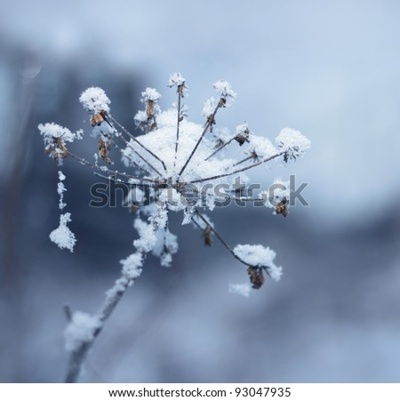 Snowy ice crystal covered frozen flower in winter
