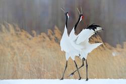 Snowy meadow, with dancing cranes, Hokkaido, Japan. Winter scene with snowflakes. Red-crowned cranes pair, breeding season.