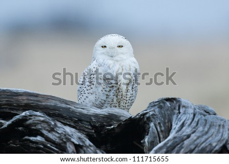 Snowy owl at the Damon Point State Park in Ocean Shores, WA