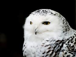 Snowy Owl, British Columbia