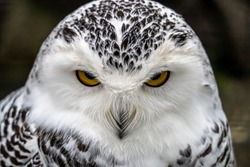 Snowy owl (Bubo scandiacus), also known as polar owl, white owl and Arctic owl. A threatened species native to the Arctic regions