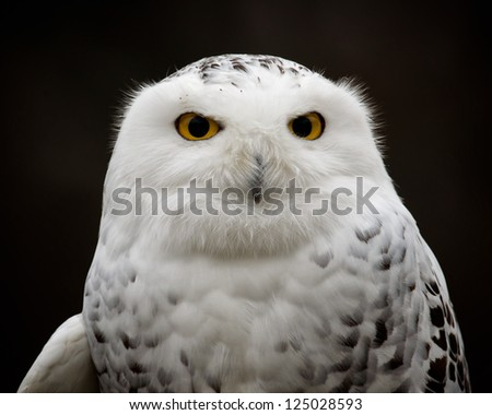 Snowy Owl (Bubo scandiacus) closeup portrait