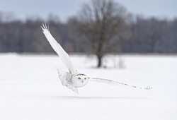 Snowy owl (Bubo scandiacus) female  isolated on white background hunting over an open snowy field in Ottawa, Canada