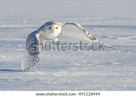 Shutterstock Snowy owl (Bubo scandiacus) flying low and hunting over a snow covered field in Canada