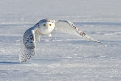 Snowy owl (Bubo scandiacus) flying low and hunting over a snow covered field in Ottawa, Canada