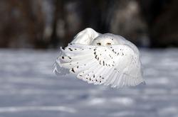 Snowy owl (Bubo scandiacus) male flies low hunting over an open sunny snowy cornfield in Ottawa, Canada