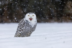 Snowy owl, Bubo scandiacus, perched in snow during snowfall. Arctic owl with open beak while hooting song. Beautiful white polar bird with yellow eyes. Winter in wild nature habitat.
