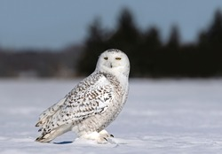 Snowy owl Bubo scandiacus standing in middle of a snow covered field in Ottawa, Canada