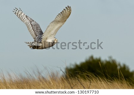 Snowy Owl (Bubo scandiacus).  The Snowy Owl is a large owl of the typical owl family Strigidae.