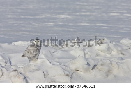 Snowy Owl Canada blue sky beautiful bird Saskatchewan