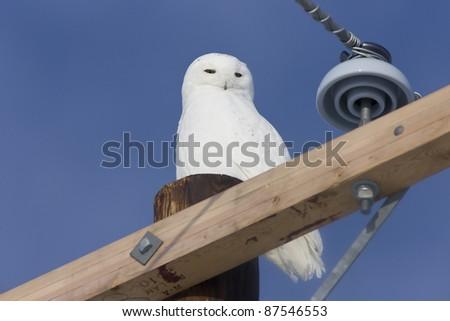 Snowy Owl Canada blue sky beautiful bird Saskatchewan