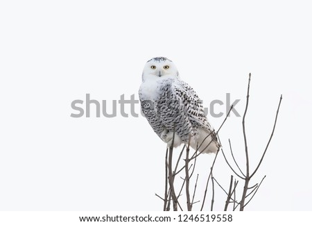 Snowy owl female Bubo scandiacus perched high up in a tree hunting over a snowy field in Ottawa, Canada #1246519558