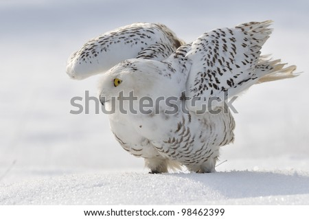 Snowy owl flap wings