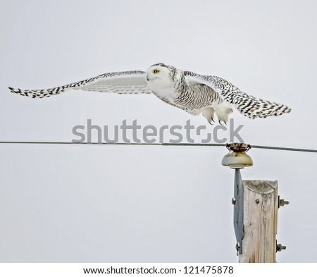 Snowy Owl flying from pole