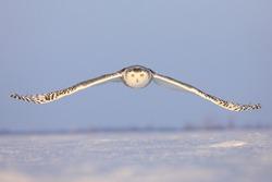 Snowy Owl Flying in Ottawa, Canada