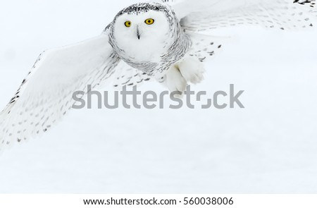 Snowy Owl in Flight Closeup Portrait