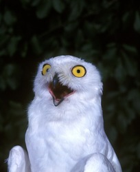 Snowy Owl, nyctea scandiaca, Adult with Open Mouth