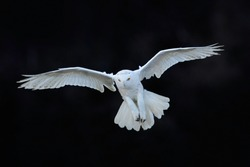 Snowy owl, Nyctea scandiaca, white rare bird flying in the dark forest, winter action scene with open wings, Canada.