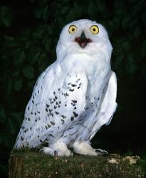 Snowy Owl, nyctea scandiaca, with Open Beak, Calling