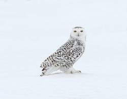 Snowy Owl on Snow Portrait