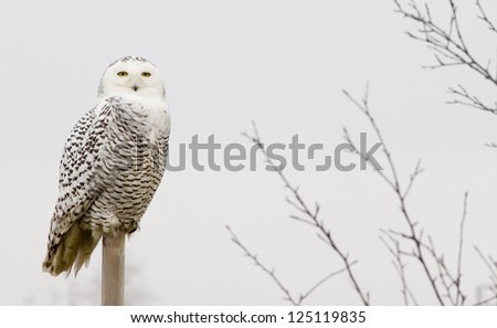 Snowy owl outdoors on a perch.