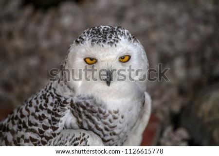 Snowy owl portrait. #1126615778