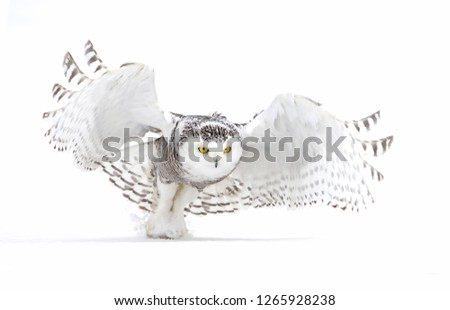 Snowy owl prepares to fly off in winter in Ottawa, Canada #1265928238
