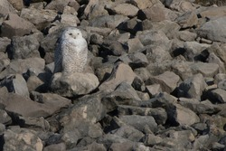 Snowy owl sitting on rocky hill at sunrise. Owl looking for prey while camouflaged against the boulders