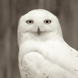 Snowy owl sitting quietly looking out for prey, monochromatic version