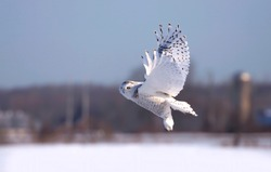 Snowy owl taking off in flight hunting over a snow covered field in Ottawa, Canada