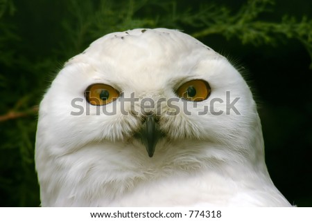 snowy owl with green background