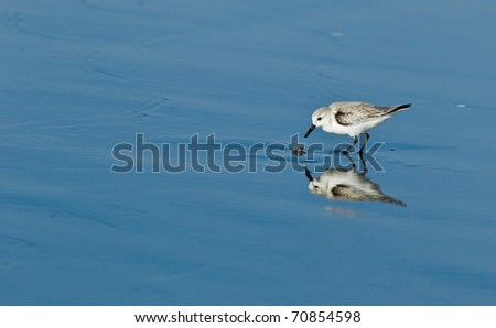 Snowy Plover (Charadrius alexandrinus nivosus) is a small shorebird distinguished from other plovers (family Charadriidae) by its small size and dark gray to blackish legs.