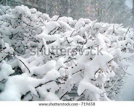 Snowy shrubbery - stock photo