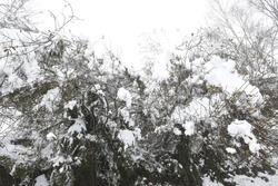 Snowy shrubbery in Galicia, Spain