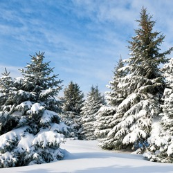 Snowy trees at day
