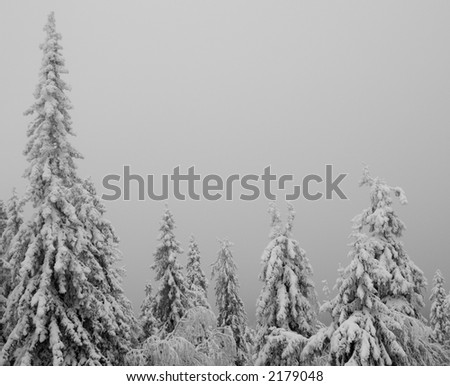 Snowy trees in fog. Lots of room for text. - stock photo