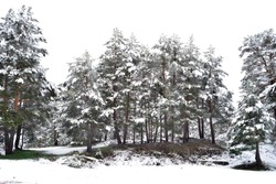 Snowy trees in the port of Navacerrada, is a mountain pass that houses a ski resort and is in the Sierra de Guadarrama. The port separates the provinces of Segovia and Madrid, in Spain.