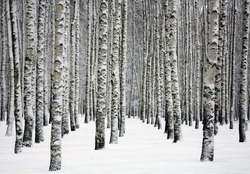 Snowy trunks of birch trees in winter forest
