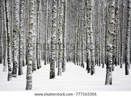 Snowy trunks of birch trees in winter forest  #777163306