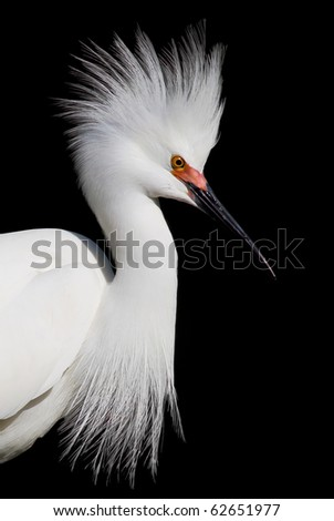 Snowy white egret poses with open headdress