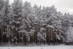 snowy winter forest, pine winter forest,  nature in winter