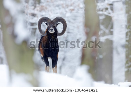 Snowy winter in forest. Animal Mouflon, Ovis orientalis, horned animal in nature habitat. Close-up portrait of mammal with big horns, Czech Republic. Cold snowy tree vegetation, white nature. #1304541421