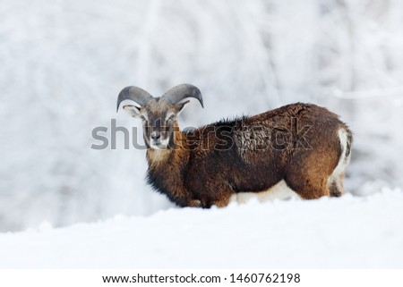 Snowy winter in forest. Mouflon, Ovis orientalis, horned animal in snow nature habitat. Close-up portrait of mammal with big horn, Czech Republic. Cold snowy tree vegetation, white nature.  #1460762198