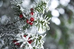 snowy yew
