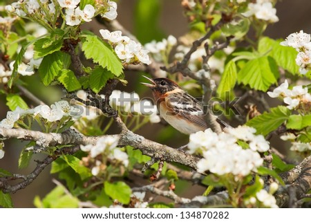 Snugly perched in an apple tree with its beak wide open; a bay breasted warbler chirps a song. White blossoms, green leaves and tan branches provide a safe haven for this chestnut colored bird.