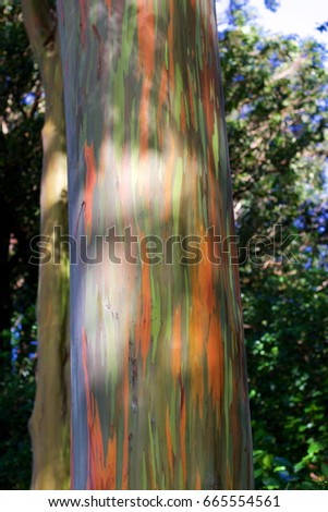 """So called """"rainbow tree"""" or sometimes called """"painted tree"""" on the Hawaiian island of Maui at Mile 7 along the Road to Hana - Shutterstock ID 665554561"""
