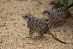 So many cute meerkats at one place. They are running and playing together in the sand. Another meerkat stands and looking around for some dangerous animals to run away.