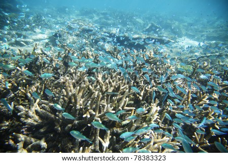 So many fish floating amongst staghorn corals, Exmouth, Western Australia.