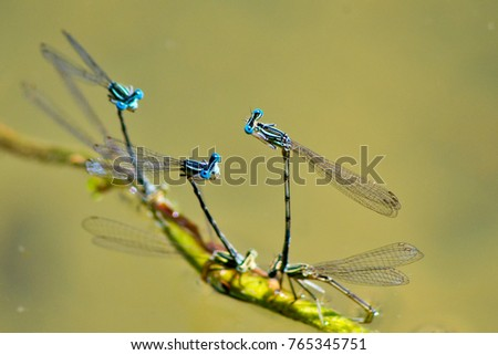 so many pairs of blue dragonflies blend on the shore of the lake #765345751