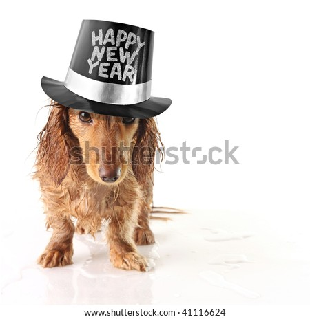 Soaking wet puppy wearing a Happy New Year hat. - stock photo